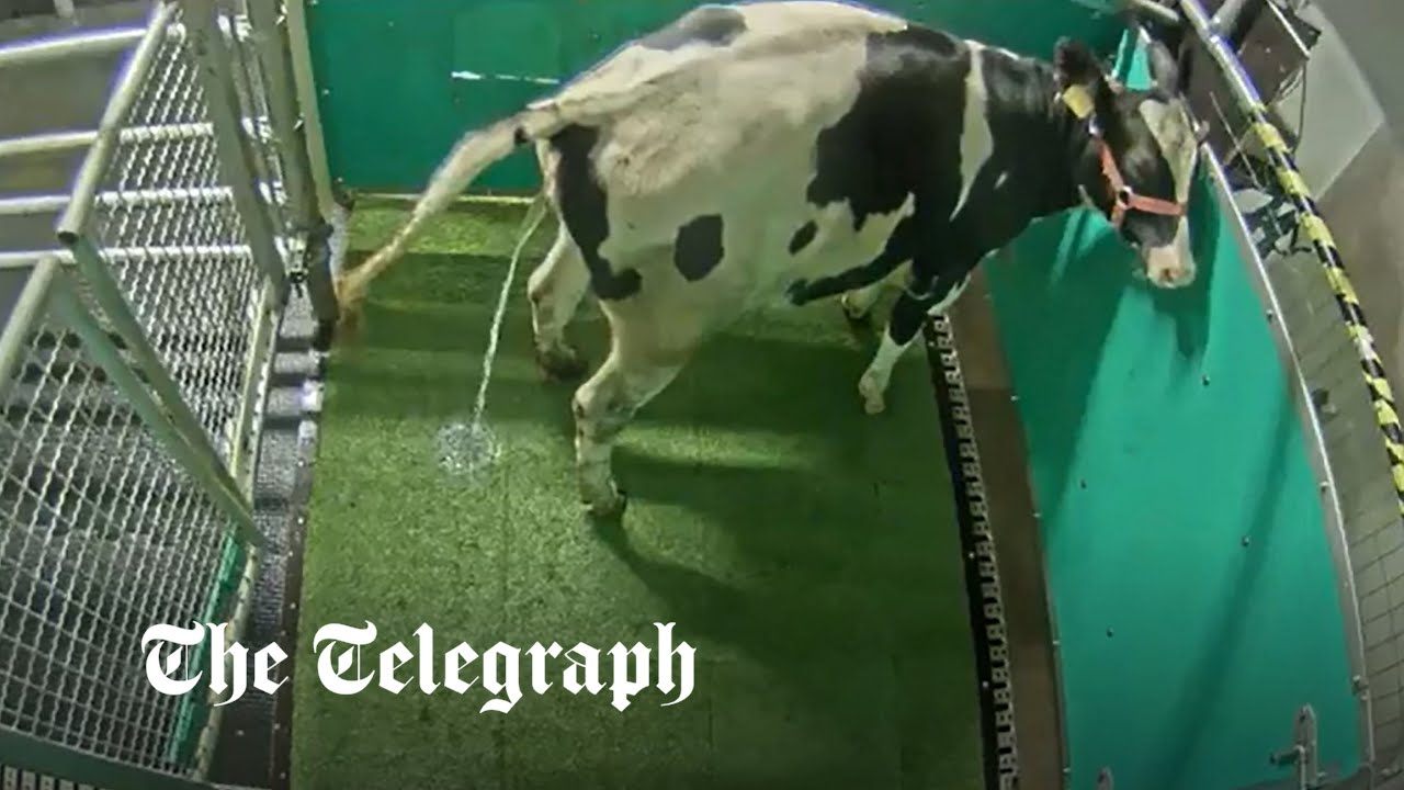 Potty training cows to use a 'MooLoo' could save the planet
